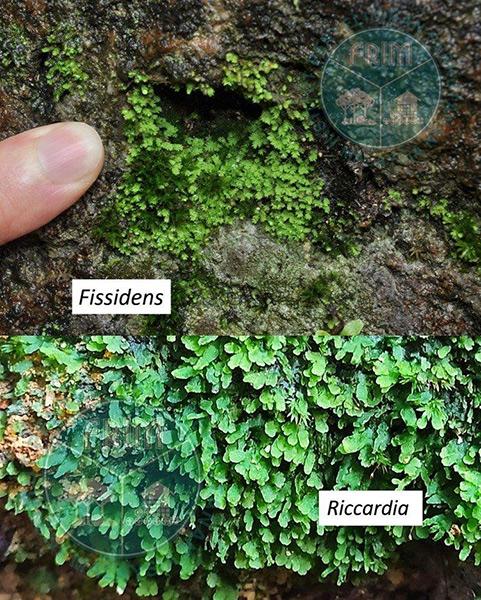 Lumut Fissidens (atas) dan Riccardia yang dijumpai atas permukaan/celah batu serta atas tanah.