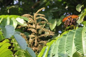A flowering kasai tree begins to bear fruits.