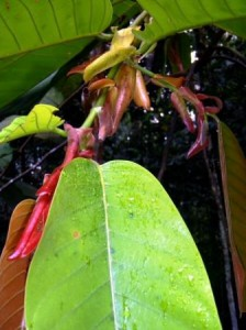 Reddish leaf shoots of engkabang. Picture by Azahari MY.