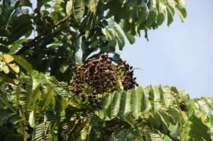 Nearly ripe kasai fruits.