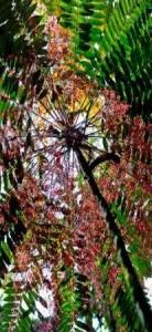 Flowers of tongkat ali