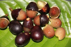 The ripe fruits of kasai are sweet and can be made into delicious pengat (sweet sauce).
