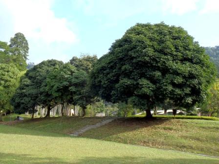 Barisan pokok sengkuang
