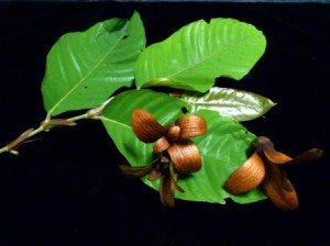 The wings of engkabang fruit enable germination by wind.