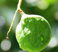 Mangifera gedebe: The Sourly Fruit