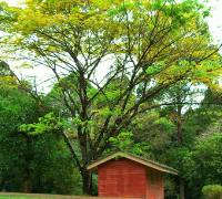 Samanea saman : The umbrella-like rain tree
