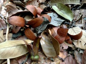 Engkabang fruits on the forest floor.