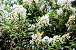The blooming flowers of Syzygium zeylanicum