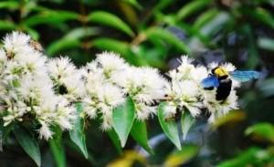Syzygium zeylanicum  attracts  nectar loving insects