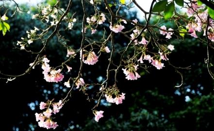 Bunga merah jambu Tabebuia yang menawan.