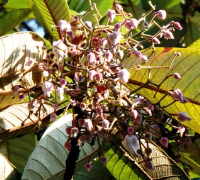 Upuna borneensis: An endangered monotypic plant