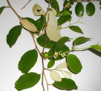 Ziziphus mauritiana: Tasty little fruits
