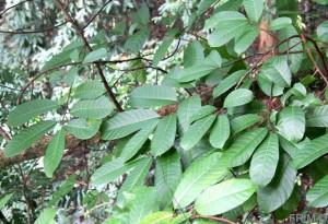 Limpatu leaves