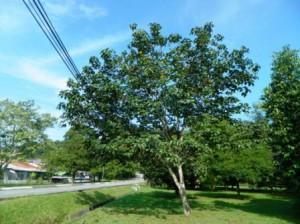 Sentul tree is fruiting at FRIM's Fruit Tree Arboretum