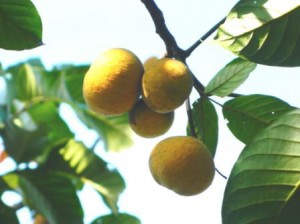 The almost forgotten sentul fruits