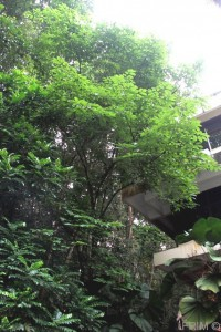 The Limpatu tree can be seen from the parking lot of D4 building.