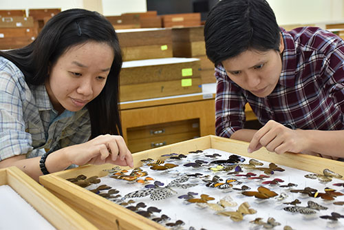Entomologists, Veronica Khoo (left) and Ong Su Ping, examining some of the insect specimens.